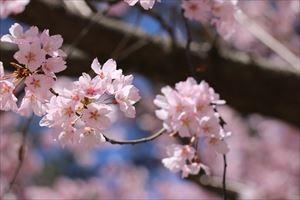 錦町公園の桜1