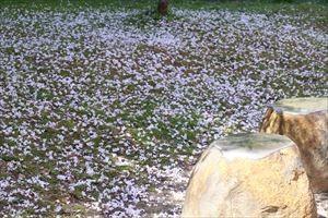 錦町公園の桜3