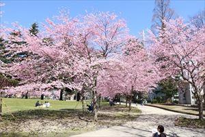 錦町公園の桜4